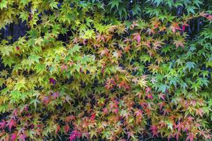 紅葉を見る色とりどりのイロハモミジの写真素材 [FYI04769165]