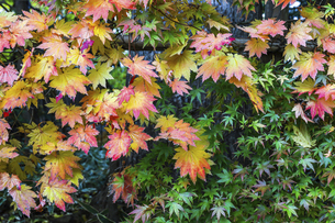 紅葉したカエデの枝葉の写真素材 [FYI04769166]