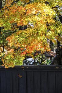 色とりどりに紅葉したイロハモミジの写真素材 [FYI04769170]