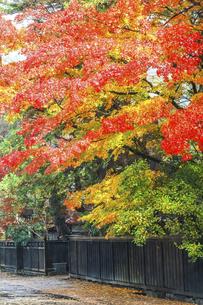 真っ赤に紅葉した樹木を見る武家屋敷通りの写真素材 [FYI04769173]
