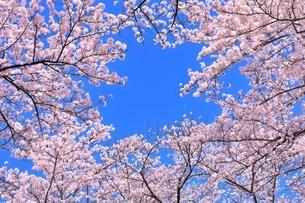 サクラと青空の写真素材 [FYI04769200]