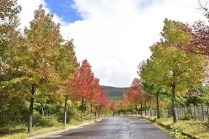 アルツ磐梯 街路樹 秋の写真素材 [FYI04769247]