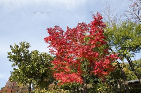 グリーンピア春日井の紅葉の写真素材 [FYI04769342]
