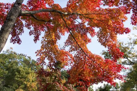 グリーンピア春日井の紅葉の写真素材 [FYI04769349]