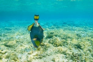 沖縄県波照間島のニシ浜で見た波照間ブルーとゴマモンガラの写真素材 [FYI04769418]