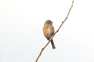 細い枝にとまるベニマシコのメスの写真素材 [FYI04769465]