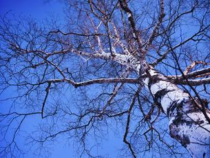 冬の木の写真素材 [FYI04769496]