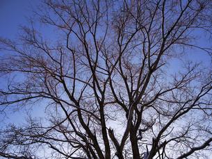 冬の木の写真素材 [FYI04769498]