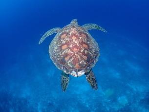 優雅に泳ぐアオウミガメの写真素材 [FYI04769535]
