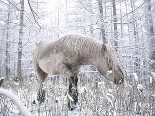 雪の日の森と道産子の写真素材 [FYI04769629]