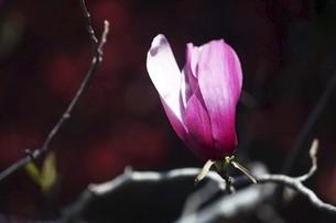 シモクレンの花の写真素材 [FYI04769822]