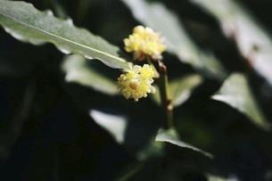 月桂樹の黄色い花の写真素材 [FYI04769826]