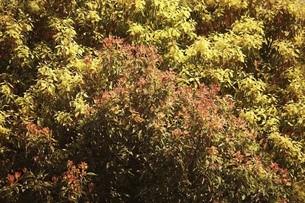 クスノキの若葉の写真素材 [FYI04769829]