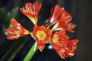 クンシラン・オレンジ色の花の写真素材 [FYI04769835]