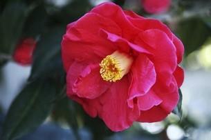 椿・菱紅の花の写真素材 [FYI04769836]