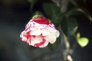 椿・岩根絞の花の写真素材 [FYI04769837]