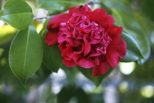 椿・アカコシミノの花の写真素材 [FYI04769839]
