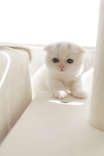 キャットタワーにのぼる仔猫の写真素材 [FYI04769843]