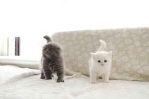 白い仔猫とグレーの仔猫の写真素材 [FYI04769844]