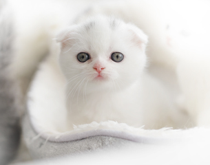 折れ耳スコティッシュフォールドの仔猫の写真素材 [FYI04769848]