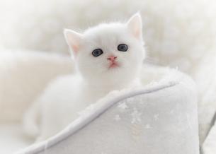 スコティッシュフォールドの白い仔猫の写真素材 [FYI04769849]