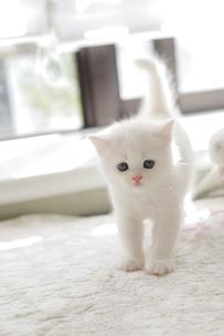 白い仔猫のいる生活の写真素材 [FYI04769850]