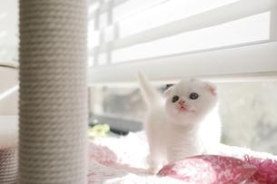 窓辺の白い仔猫の写真素材 [FYI04769852]