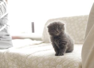 スコティッシュフォールドの仔猫の写真素材 [FYI04769854]