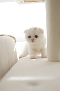 白い仔猫がいる空間の写真素材 [FYI04769856]
