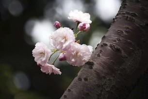 里桜・東錦の花の写真素材 [FYI04769877]