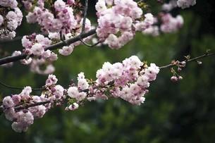 里桜・東錦の花の写真素材 [FYI04769878]