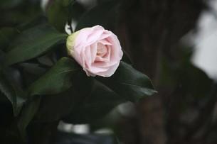 椿・ピーターパンの花の写真素材 [FYI04769881]