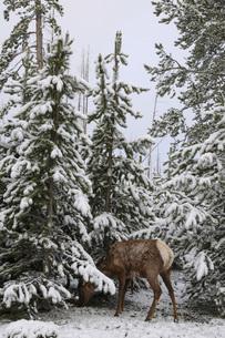 雪の森とシカの写真素材 [FYI04770372]