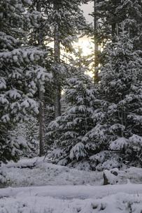 森の冬の朝の写真素材 [FYI04770373]