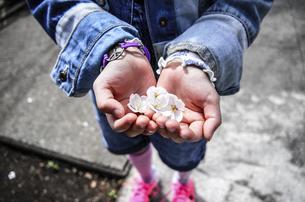 桜の花びらを手にのせた女の子の写真素材 [FYI04770421]