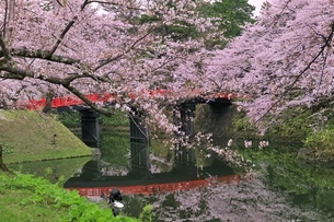 弘前公園のサクラの写真素材 [FYI04770529]