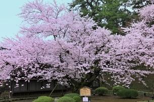 弘前公園 日本最古のソメイヨシノの写真素材 [FYI04770530]