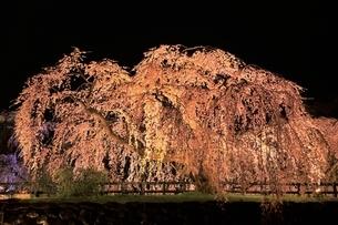 弘前公園 本丸のシダレザクラのライトアップの写真素材 [FYI04770541]