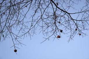 殘り柿の写真素材 [FYI04770637]