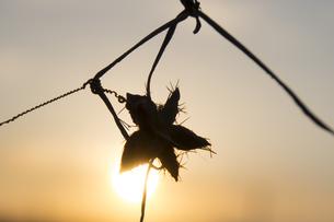 夕陽にシルエットで浮かぶ星型の植物の写真素材 [FYI04770640]
