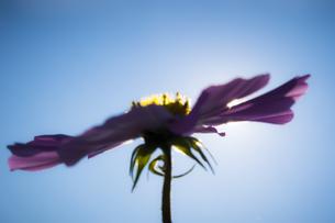 逆光にシルエットで浮かぶボケたコスモスの花の写真素材 [FYI04770650]