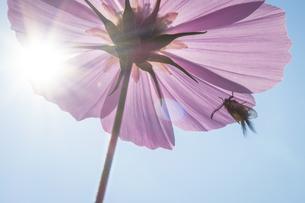 光射すコスモスの花影に身を隠すミノウスバの写真素材 [FYI04770651]