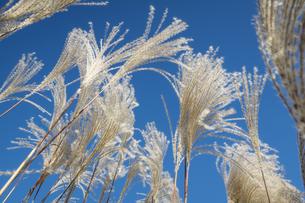 真っ青な空と白が際立つススキの穂のコントラストの写真素材 [FYI04770659]