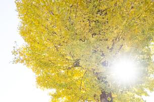 黄葉するイチョウの木を透過する日差しの写真素材 [FYI04770662]
