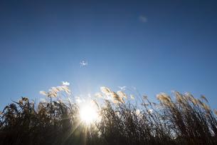 午後の日差しと風に煽られるススキの写真素材 [FYI04770670]