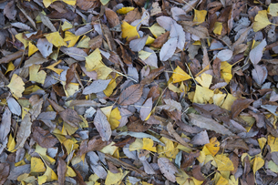 地面を埋め尽くす落ち葉の写真素材 [FYI04770674]