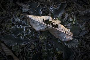 霜降る枯れ落ちた栗の葉の写真素材 [FYI04770682]