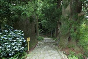 熊野古道の夫婦杉の写真素材 [FYI04770750]