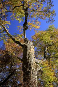 台風の影響で折れたマザーツリーの紅葉の写真素材 [FYI04770874]