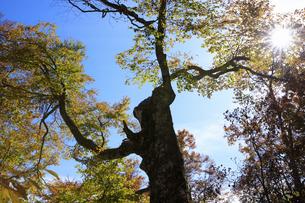 台風の影響で折れたマザーツリーの紅葉の写真素材 [FYI04770876]